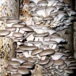 Бизнес на выращивании грибов вешенок — для старта хватит и 5000